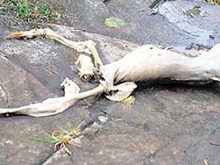 ленивец лысый фото